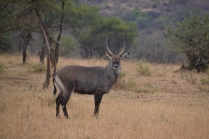Loved this shot of a beautiful waterbuck