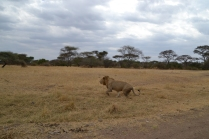 Another injured male lion, limping away