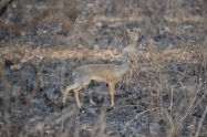 The tiny Kirk's dikdik -- the smallest antelope