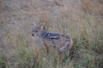 Silver backed jackal