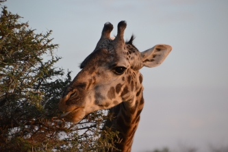 Giraffe feeding on small leaves