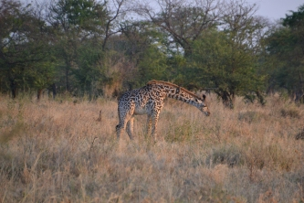 Loved the Masai giraffe spots, all irregular