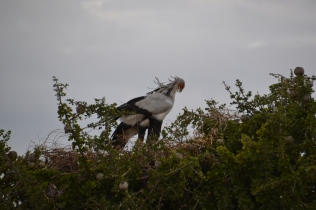 Secretary birds preening on their nest