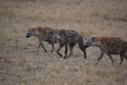 Trio of hyena