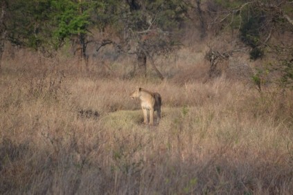 Lioness coming into view