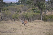 Female eland and calf
