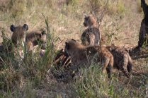 Hyena chomping on leftovers from a lion feed