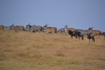 Zebra, eland, and wildebeest on the move