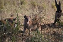 Smiling hyena