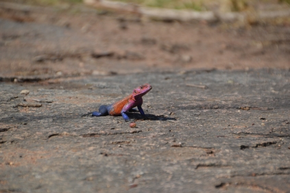 Male agama lizard