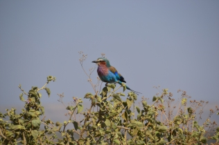 The ever-so-popular Lilac-breasted roller