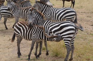 Nursing zebra calf