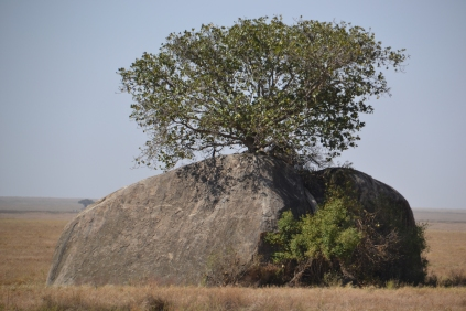 Tree out of a rock