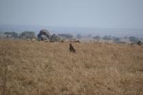 Cheetah television