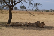 Lion pride huddled under the shade of a tree