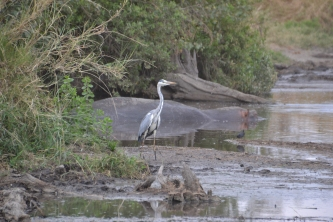 Heron sharing the river with hippos