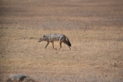 Silver backed jackal on the hunt