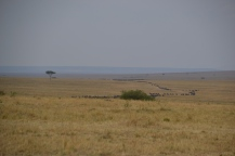 Wildebeest migration over the plains