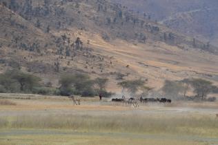 Masai herding his cattle