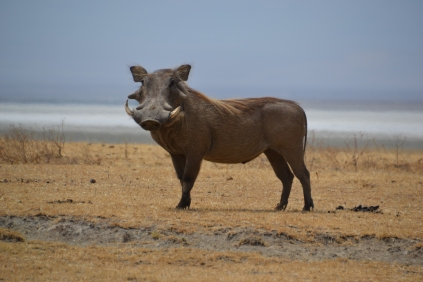 Male warthog giving me a smile