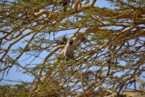 Vervet monkey in a yellow-barked acacia