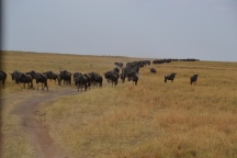 Massive amounts of wildebeest