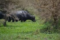 Buffalo grazing in a boggy field of green