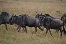 The blue wildebeest