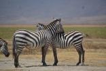 Zebra hugs and so cute