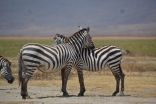 Zebra hugs and so cute