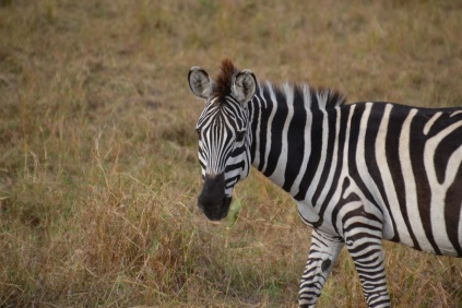 The ever-photogenic zebra