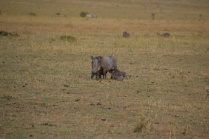 Warthog with four babies nursing
