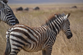 Fuzzy young zebra