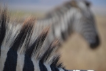Love their tricolor manes
