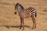 Smallest zebra baby I saw -- so cute