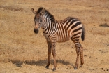 Smallest zebra baby I saw -- so cute