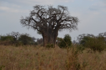 The infamous baobab trees of Tarangire