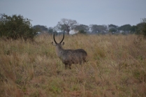 Lovely male waterbuck