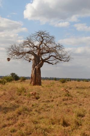 Impala surrounded baobab