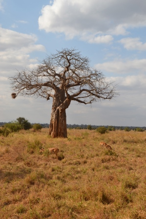 Impala surrounded baobab