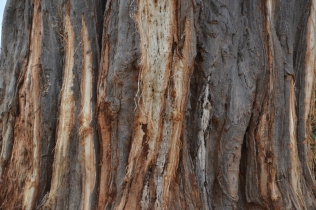 Elephant stripped baobab bark