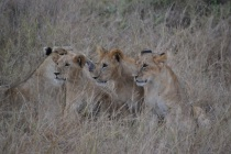 Cubs at attention