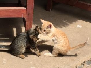 Kitten boxing
