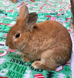 Bobbie, another adorable lionhead bunny