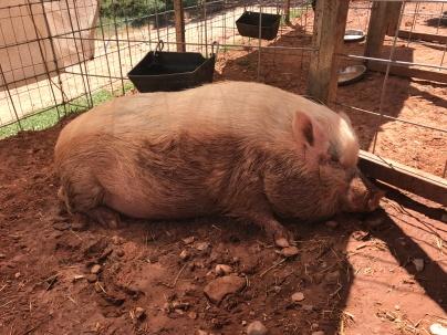 Jasmine having a nap after her mud bath