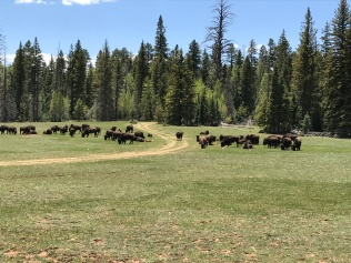 Some bison on the side of the road